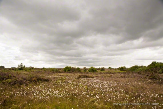 Bog cotton in an Irish bog on an overcast day