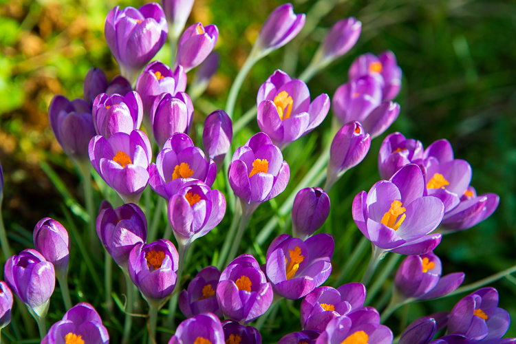 Colourful crocus flowers, Ireland