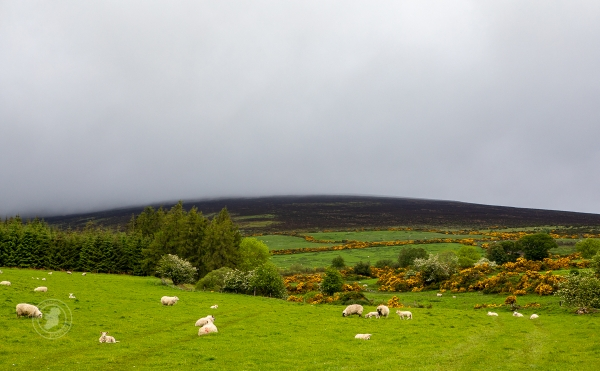 Sheep in a colourful Irish country scene
