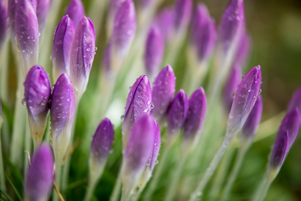 Crocus Flowers in January, Ireland