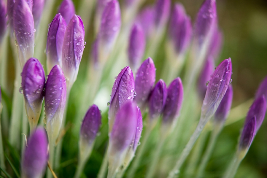 Spring Colour In Winter With Crocus Flowers