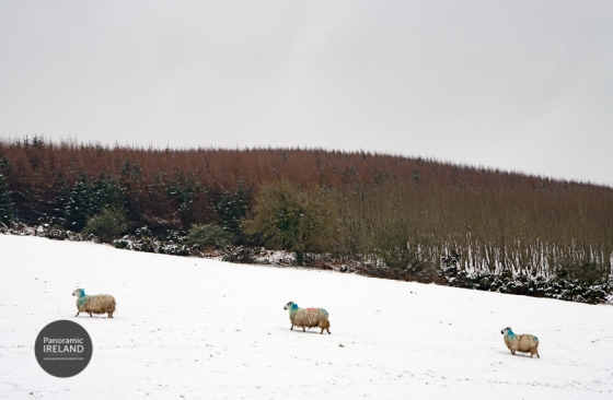 Snow and sheep in the mountains of Ireland