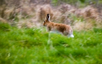 The Irish hare Lepus timidus hibernicus - graceful in the countryside