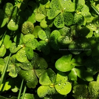 Shamrock, Raindrops and Sunshine - Lots of Green in Irish Spring