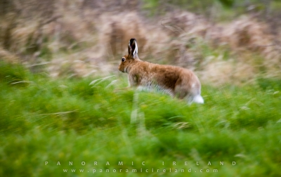 The Irish Hare as seen in Spring