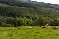 Cows relaxing in pastoral Ireland