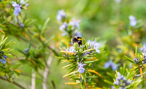 Busy buzzing from flower to flower, the bumblebee on rosemary flowers in an Irish spring