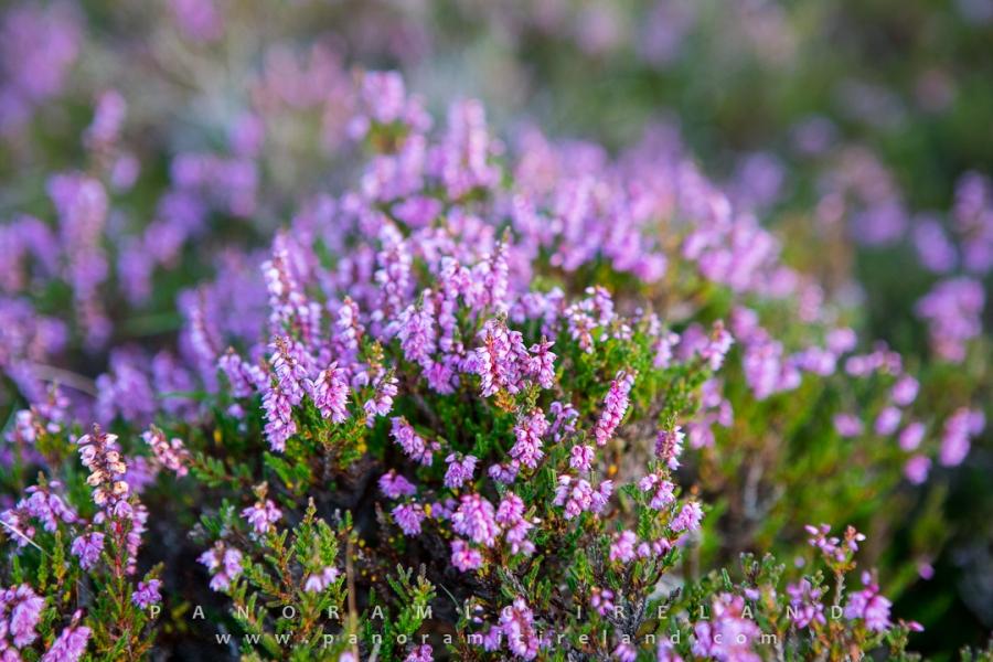 Irish Heather Fraoch Mor Or Calluna Vulgaris Colours Ireland Purple