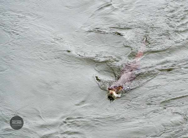 Otter of the River Suir, Ireland
