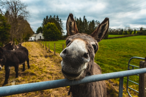 Friendly donkey by the roadside, Northern Ireland