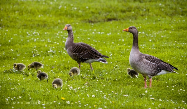Greylag geese in Ireland