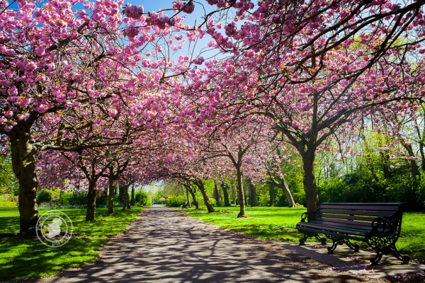 Dublin's colourful cherry blossom