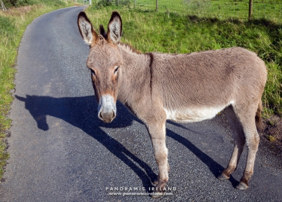 South Armagh Donkey